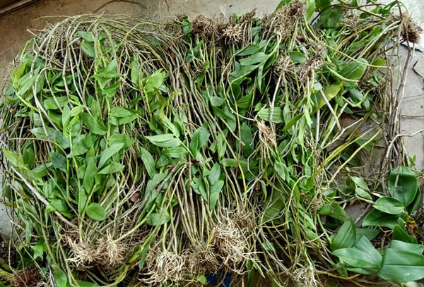 plan hạc vỹ rừng có tốc độ phát triển khỏe mạnh và bộ rễ tốt