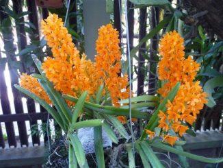 phong lan hoa hoang 6 min