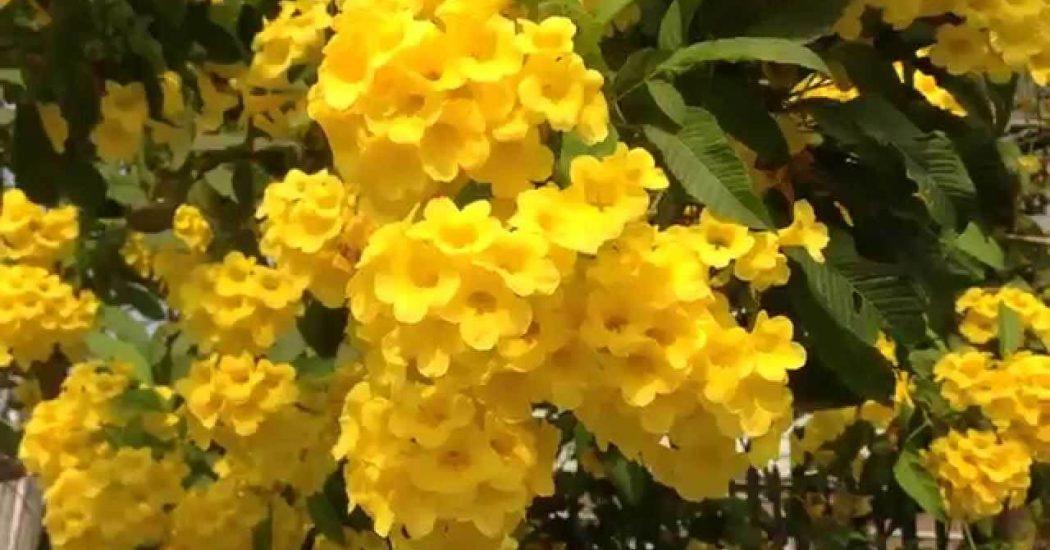 cây chuông vàng khoe sắc
