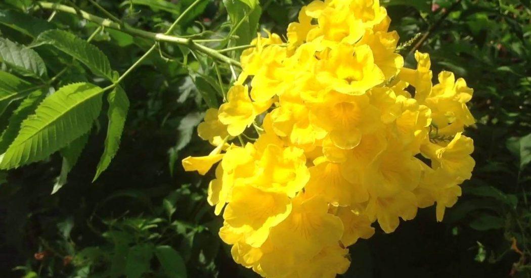 diều làm nên sự khác biệt của loài cây chuông vàng