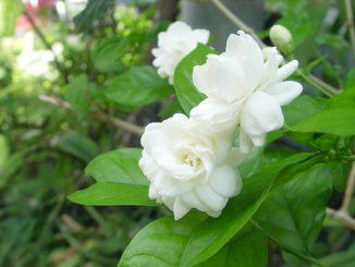 cay hoa lai 9