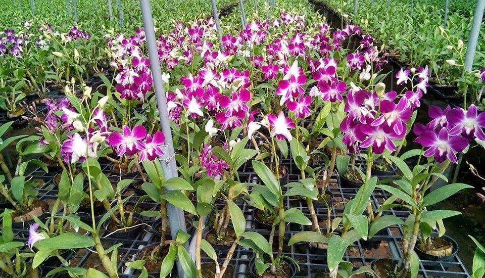 cay hoa lan dendro 2