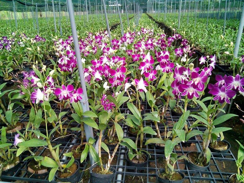 cây hoa lan denro phát triển và ra nhiều hoa
