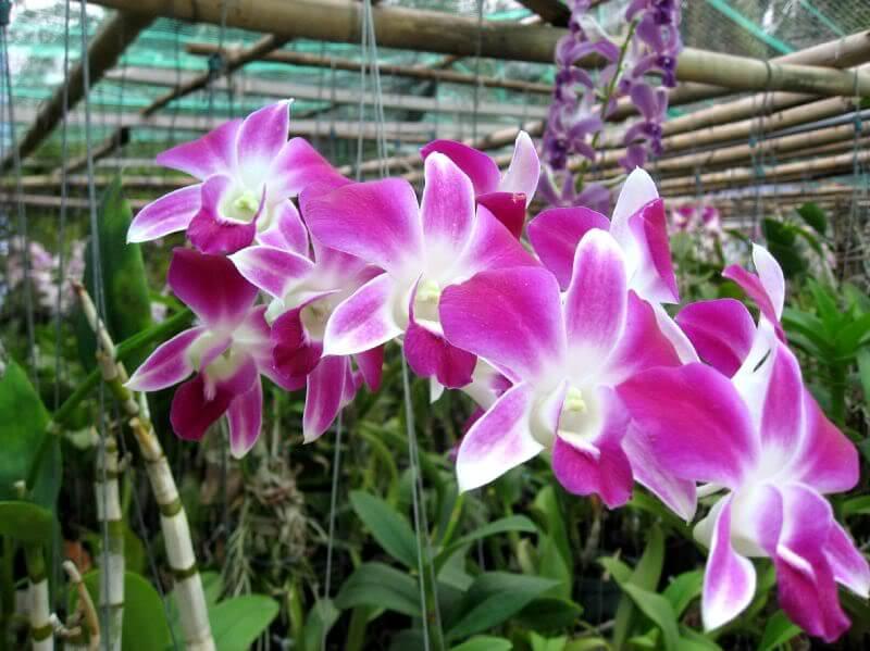 cay hoa lan dendro 4