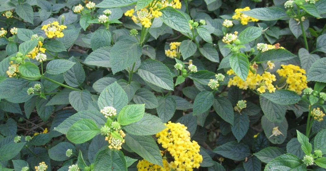 Kỹ thuật trồng và chăm sóc cây hoa ngũ sắc