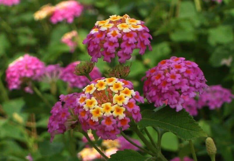 những cây hoa ngũ sắc tuyệt đẹp