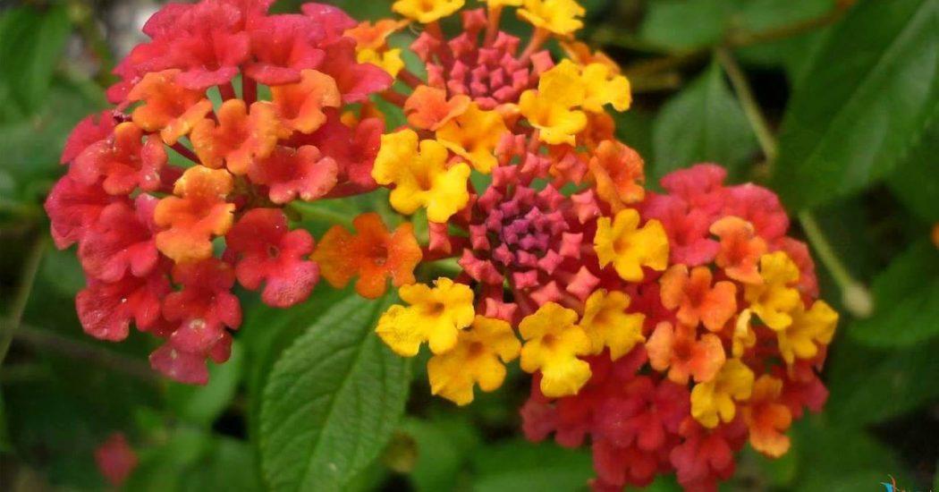 cận cảnh bông hoa ngũ sắc đẹp