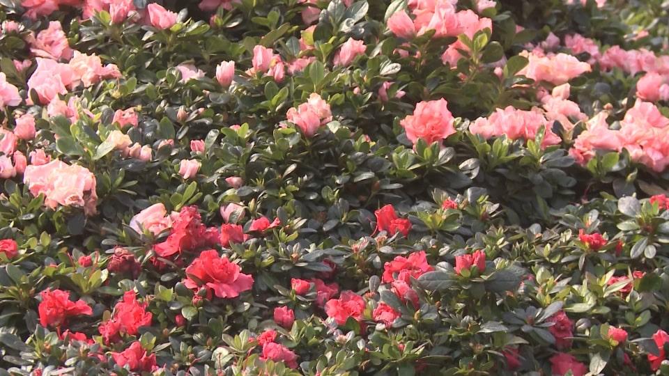 rừng hoa đỗ quyên nở hoa