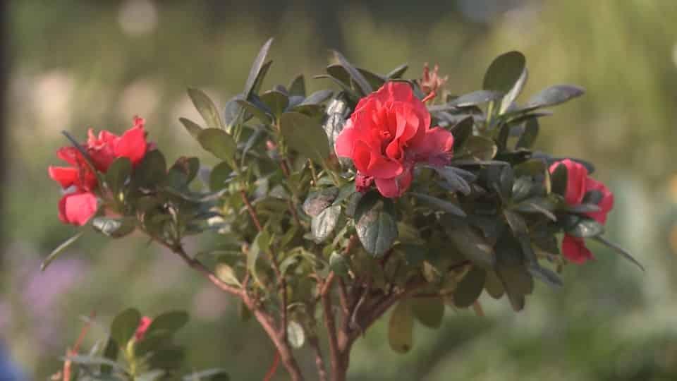 hoa đỗ quyên khoe sắc dưới ánh nắng