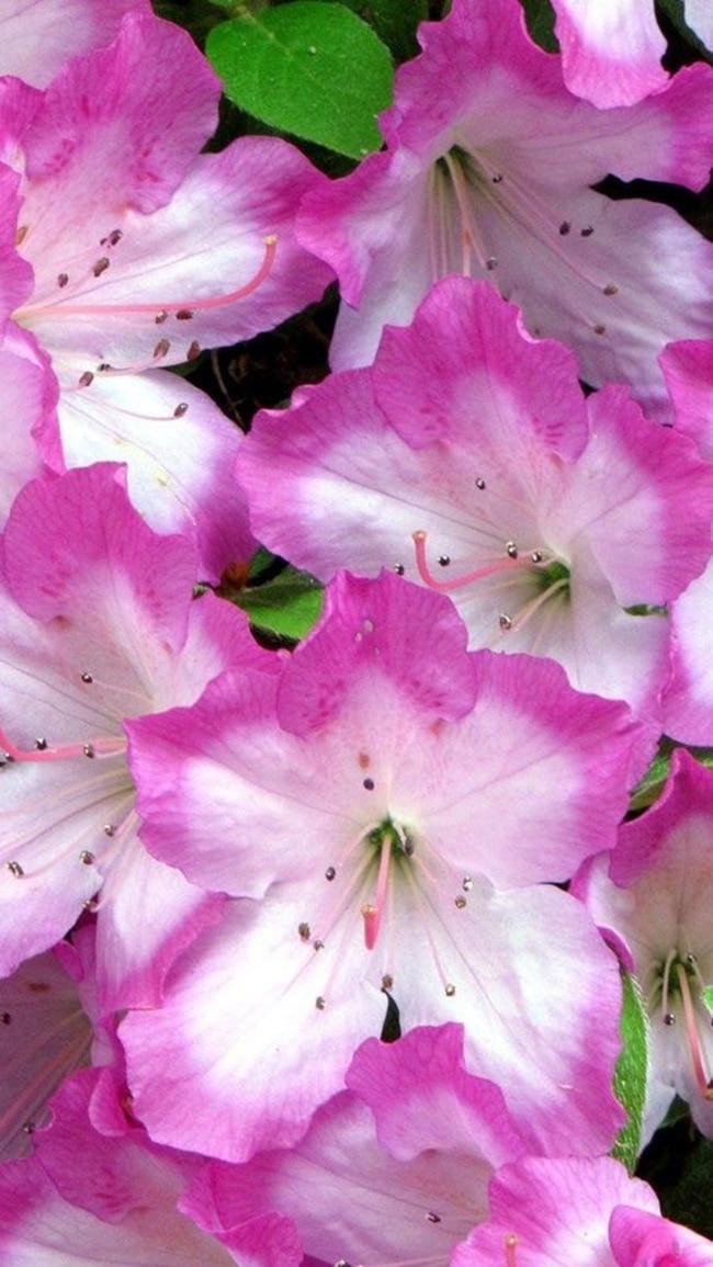 Hãy chọn cho nàng những bông hoa Đỗ quyên hồng tươi thắm nhất