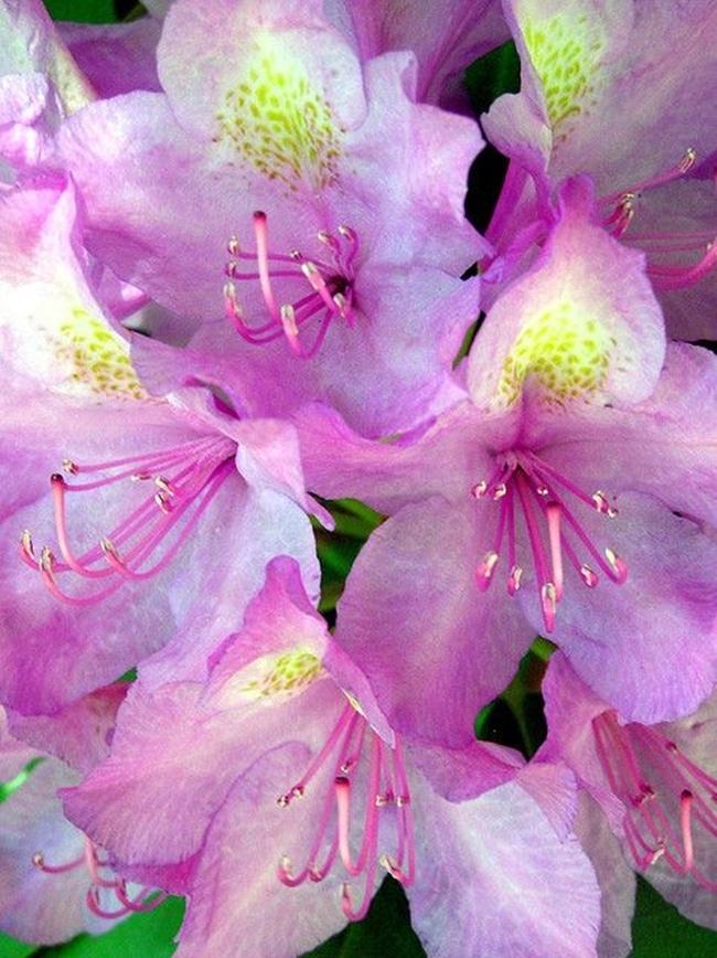 Với cánh hoa sắc hồng nên chúng còn được gọi là Hồng quyên.