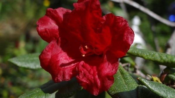 hoa đỗ quyên màu đỏ đẹp ấn tượng với màu sắc