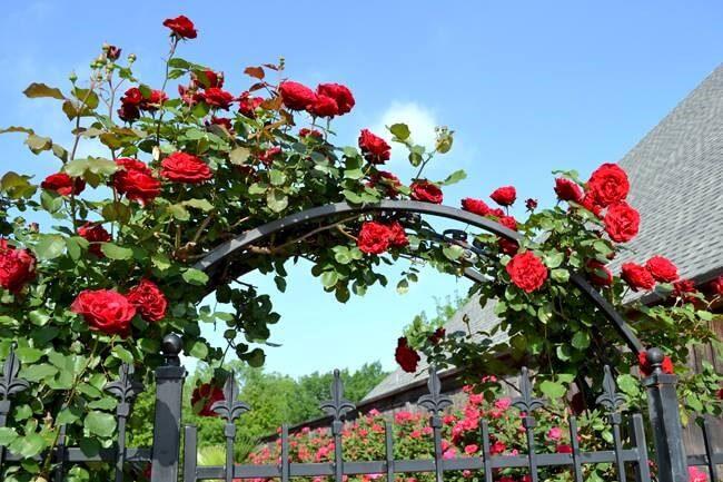 hoa hồng leo cổ hải phòng làm giàn leo trước cổng