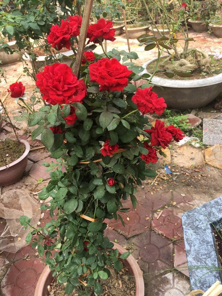 đặc điểm của hoa hồng cổ hải phòng