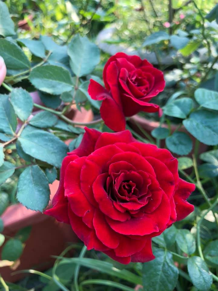 cách chăm hoa hồng leo cổ hải phòng