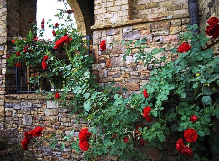 hoa hồng leo cổ hải phòng
