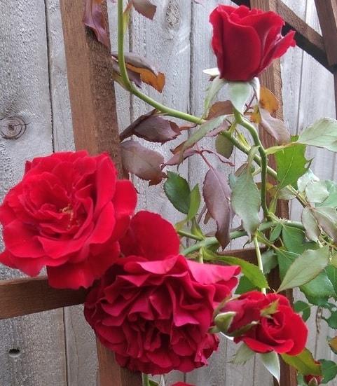 giàn cho hoa hồng cổ hải phòng