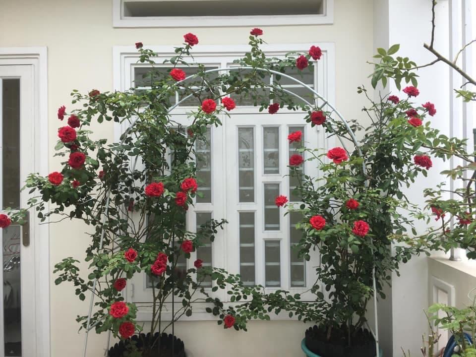 cách làm giàn cho hoa hồng cổ hải phòng cho những chậu lớn