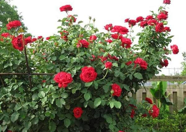 nguồn gốc hoa hồng cổ hải phòng