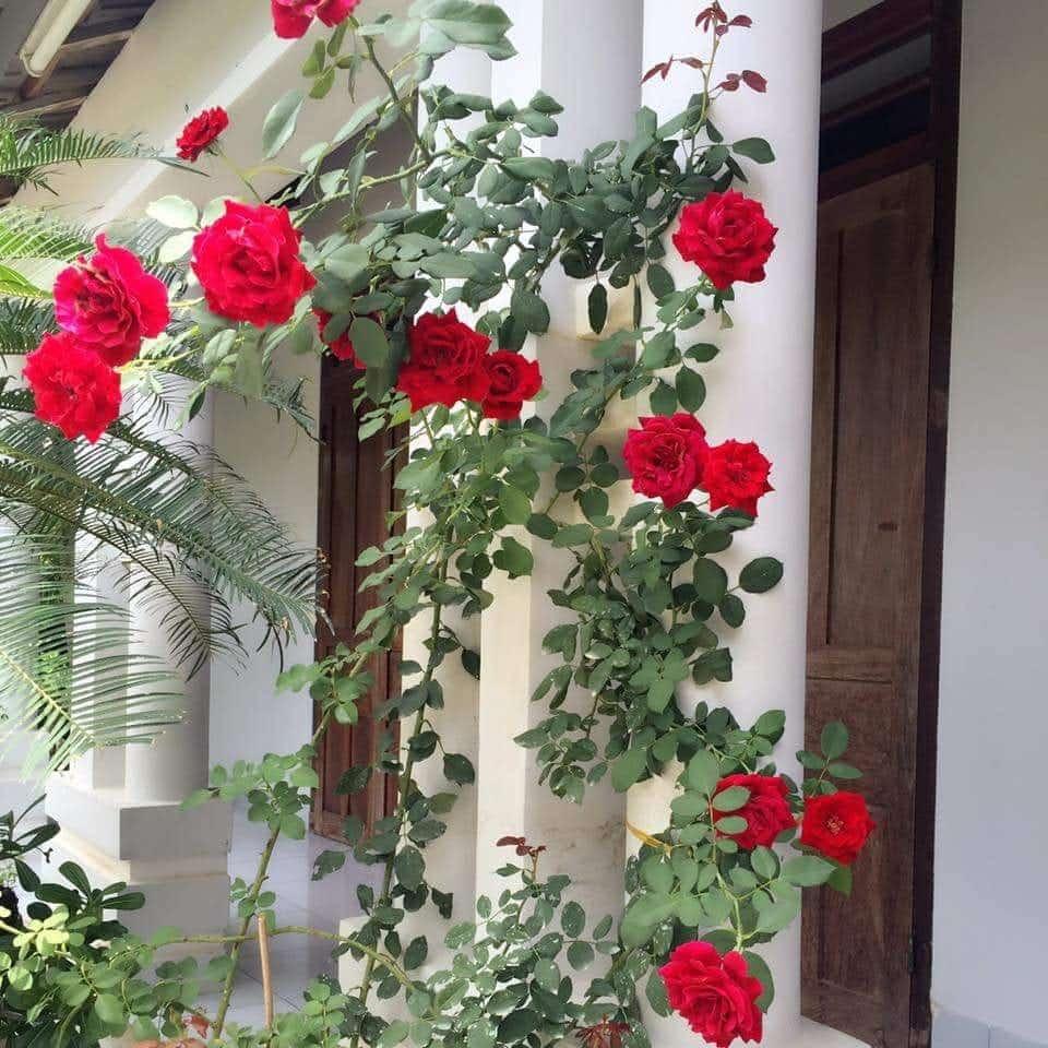 cách làm giàn cho hoa hồng cổ hải phòng