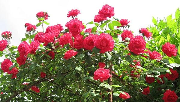 cách trồng hoa hồng cổ hải phòng