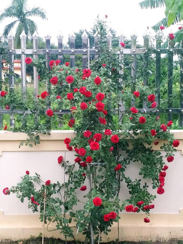hoa hồng cổ hải phòng leo bờ tường