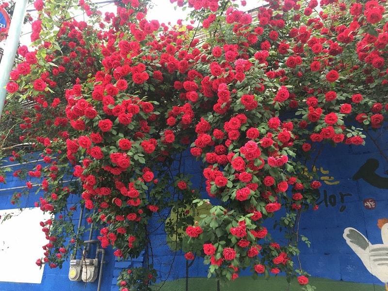 hoa hồng cổ leo hải phòng những cây lớn