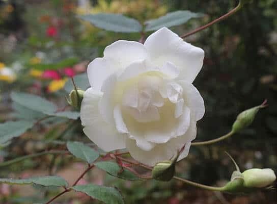 những bông hoa hồng cổ nam định đẹp