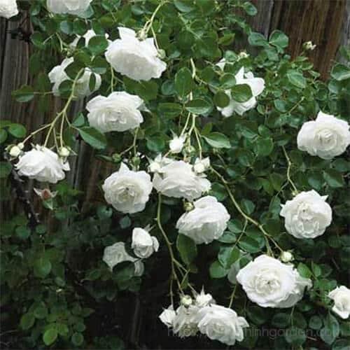 ngắm nhìn những bông hoa hồng cổ nam định