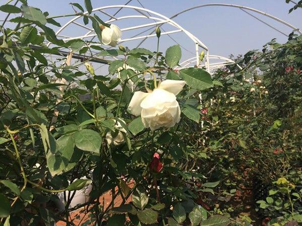 cây hồng cổ nam định khỏe mạnh