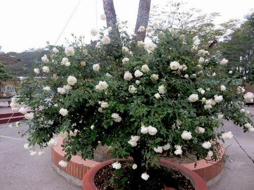 khu vườn hồng cổ nam định