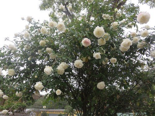 Cách trồng và chăm sóc hoa hồng cổ Nam Định