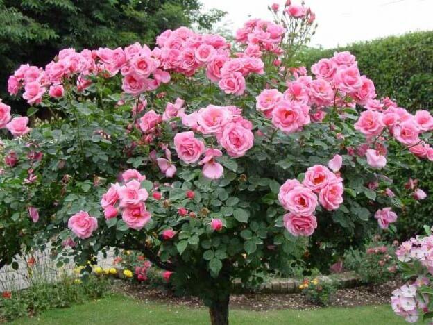 hoa hồng cổ sapa có leo không