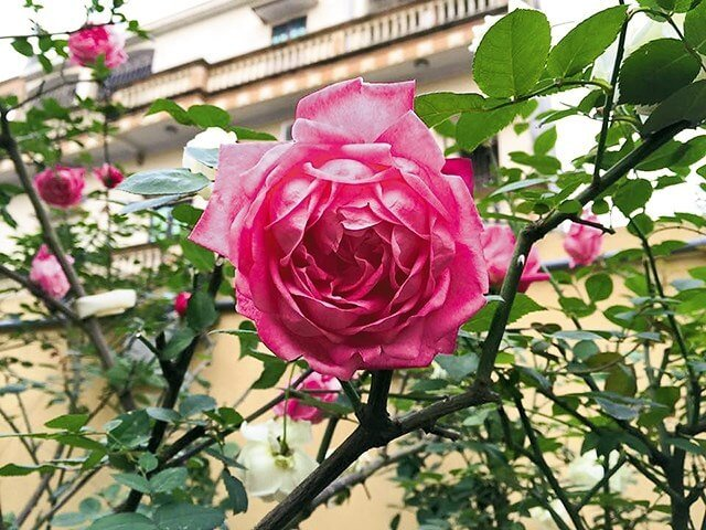 Cây giống hồng cổ sapa phát triển khỏe mạnh