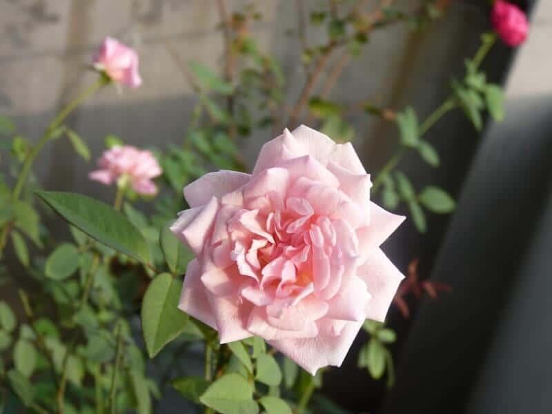 bông hoa hồng đào cổ