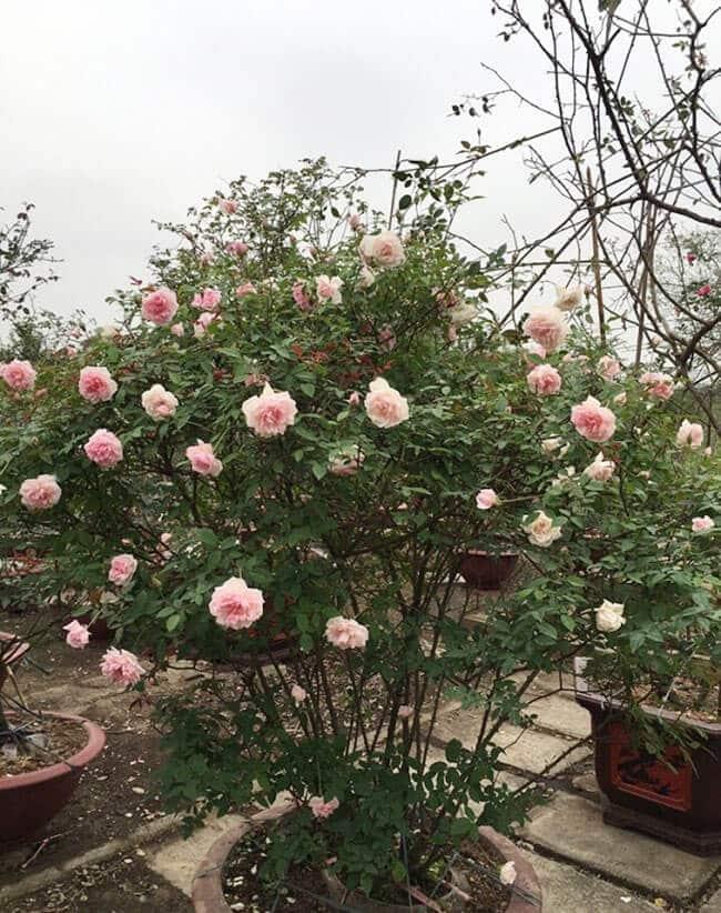 chăm sóc Hoa hồng đào cổ màu sắc đẹp