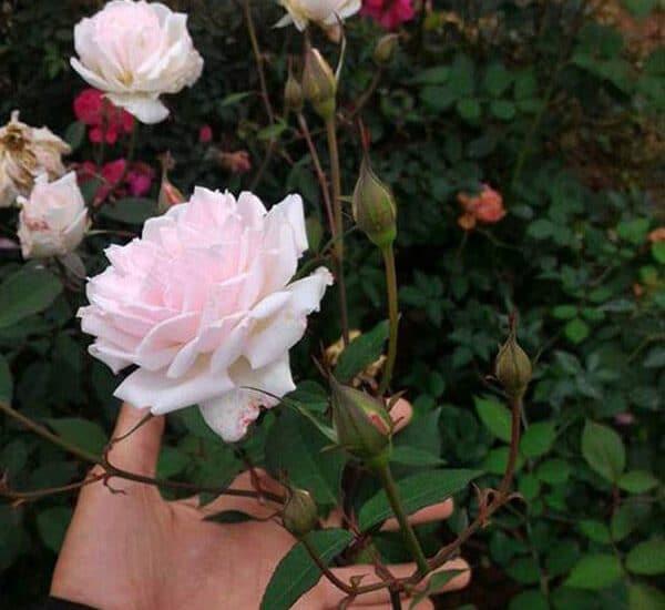 Hoa hồng đào cổ màu sắc đẹp