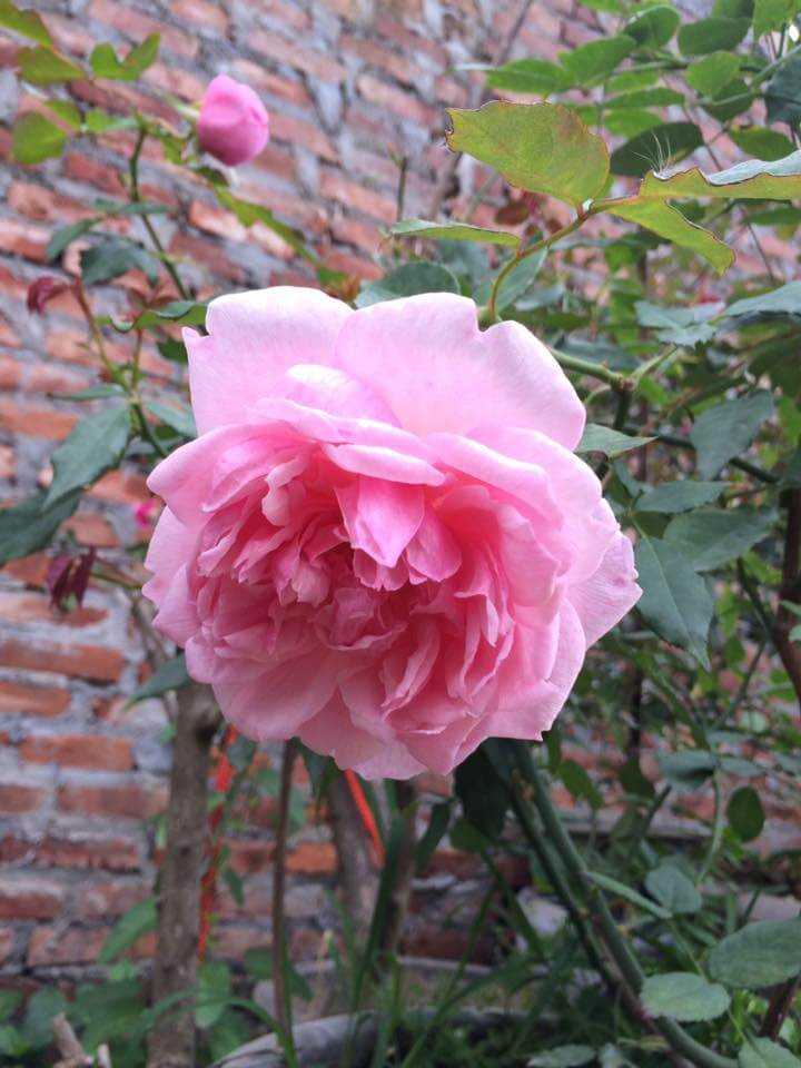 Giống hoa hồng điều cổ