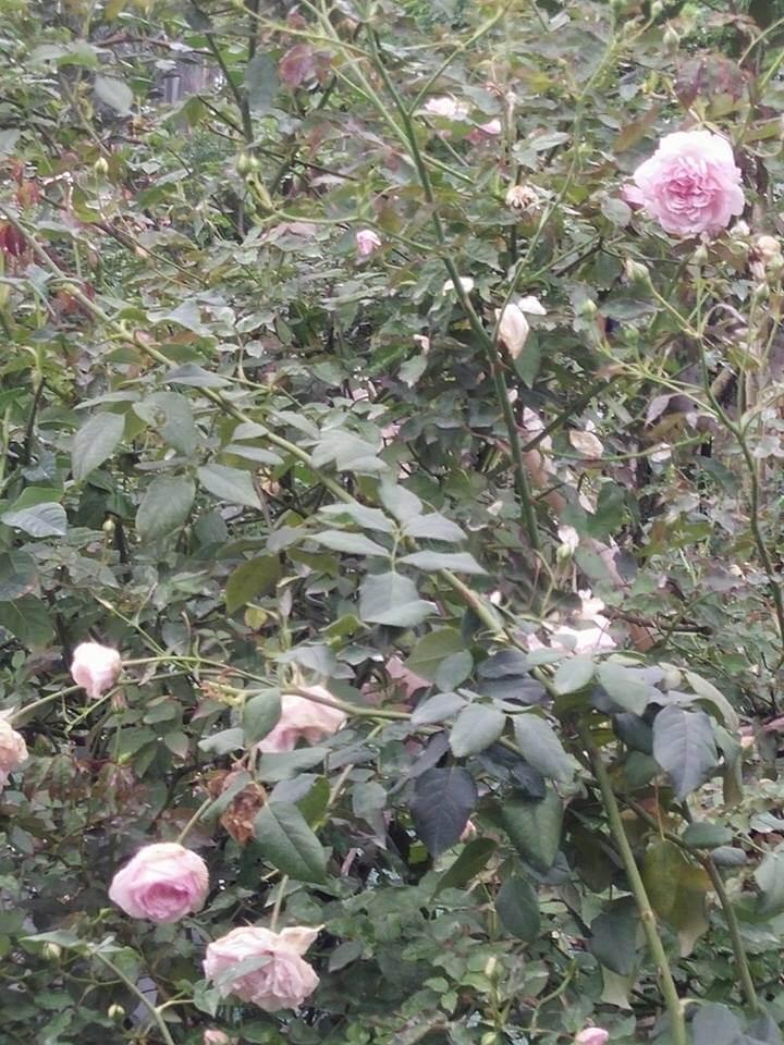 Giống hoa hồng điều cổ đẹp