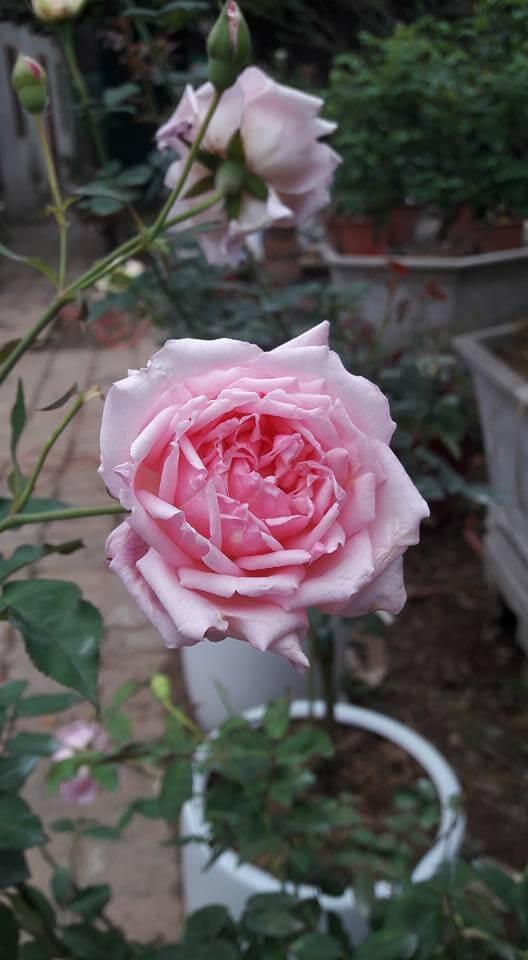 chăm sóc hoa hồng điều cổ