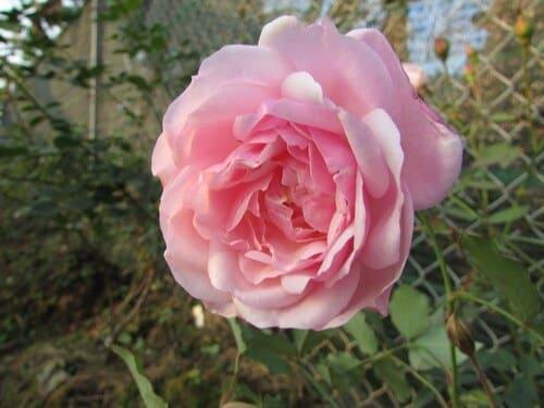 chăm sóc hoa hồng điều cổ ra hoa đẹp