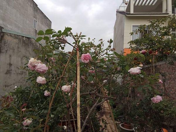 Giống hoa hồng điều cổ- hoa đẹp giống bản địa Việt Nam