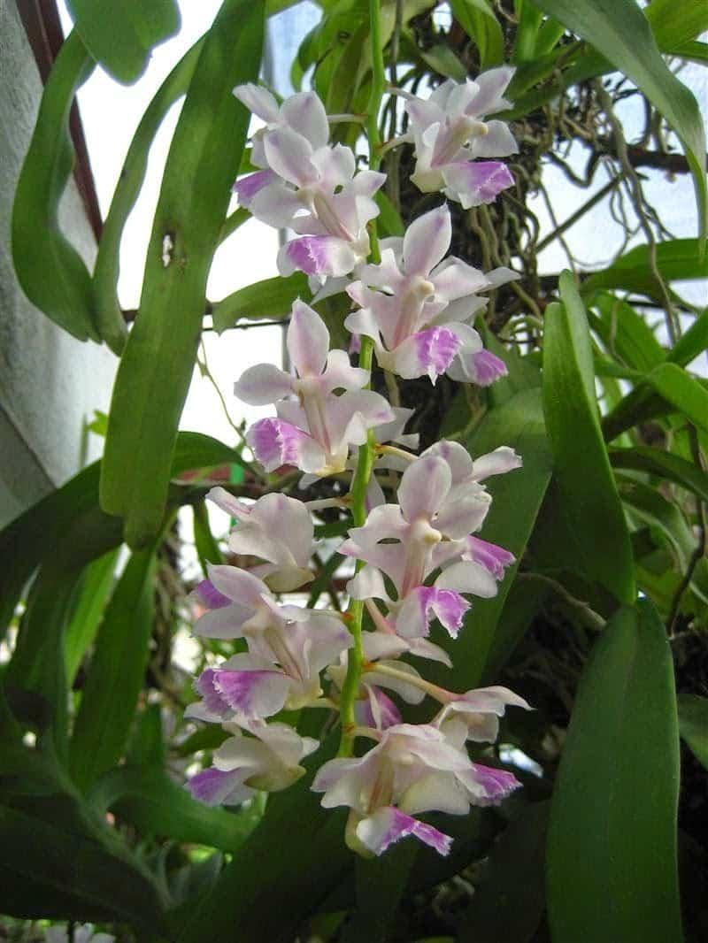phong lan tam bảo sắc trắng