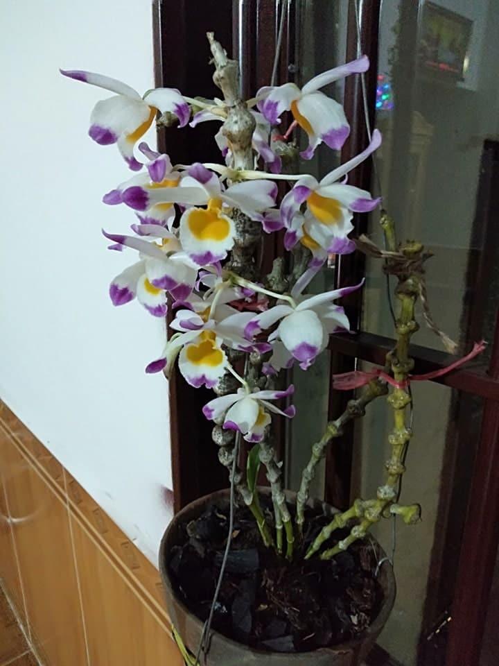 cây lan trúc phật bà ra hoa tuyệt sắc