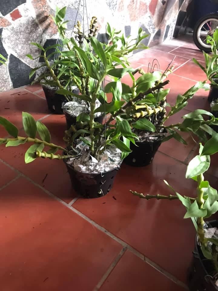 cây lan trúc phật bà phát triển khỏe mạnh