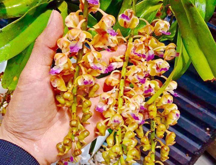 hoa lan tam bảo sắc nở vào tháng mấy