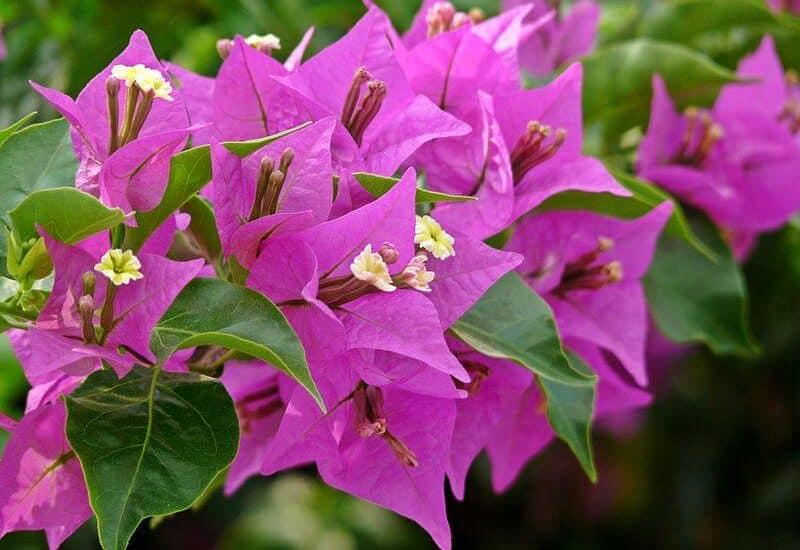 điểm nhấn khi bông hoa giấy đầu tiên nở