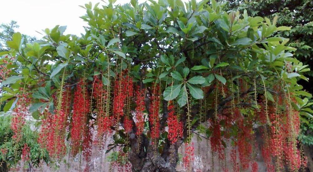 Những nguyên tắc cơ bản điều khiến cây ra hoa đồng loạt