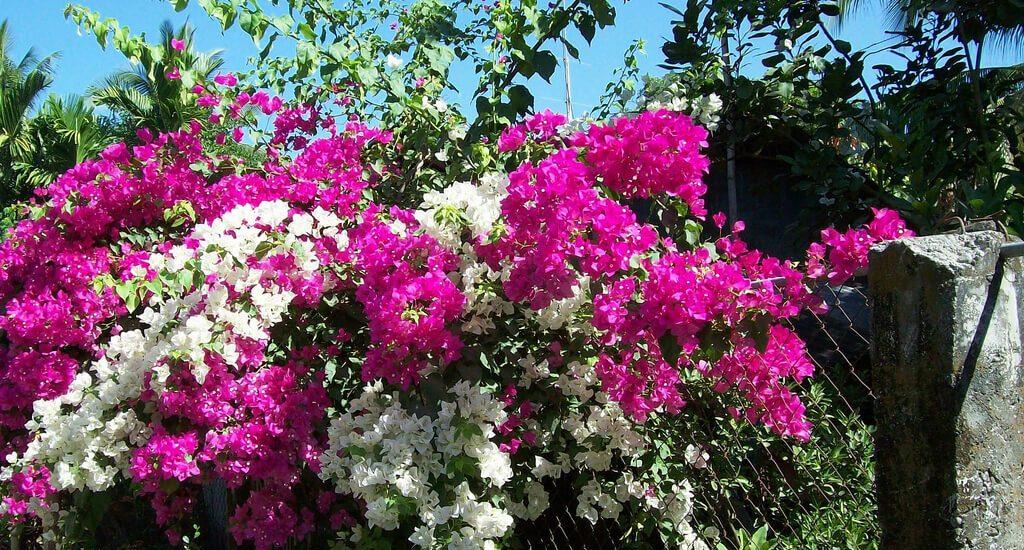 cây hoa giấy hợp với mệnh hỏa