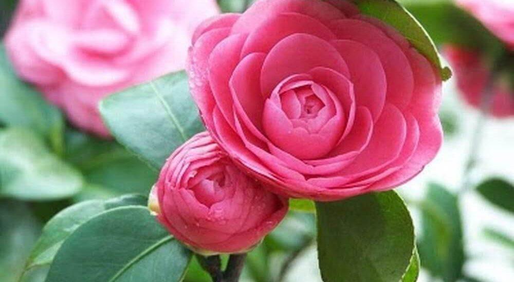 chăm sóc cây hoa trà